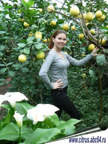 Все о цитрусовых, Выращиваем лимон на подоконнике, Выращиваем лимон в домашних условиях, Выращиваем апельсин дома, Выращиваем мандарин на окне, Все о лимонах и лаймах, Апельсины и мандарины без оранжерерии, Цитрусовые гибоиды, что это?, Болезни и уход за цитрусовыми культурами, Подкормка  и уход за цитрусовыми, лимонами, апельсинами, Фруктовый сад от а до я!, Решили посадить фруктовый сад? С чего начть?
