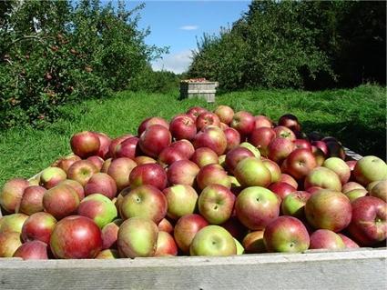 Как собирают урожай вишни