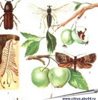 Вредители смородины и крыжовника