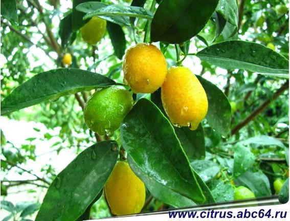 Как вырастить апельсин в домашних условиях с плодами 529