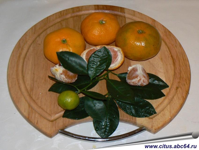Размножение мандарина