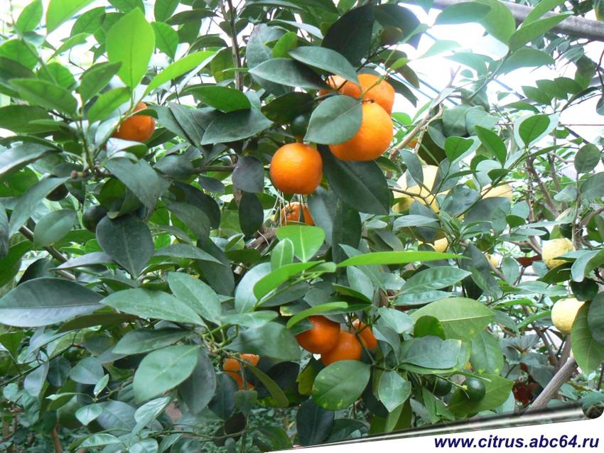 Мандарины в саду, как вырастить лимоны